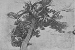 Studio di albero | De Carolis Adolfo